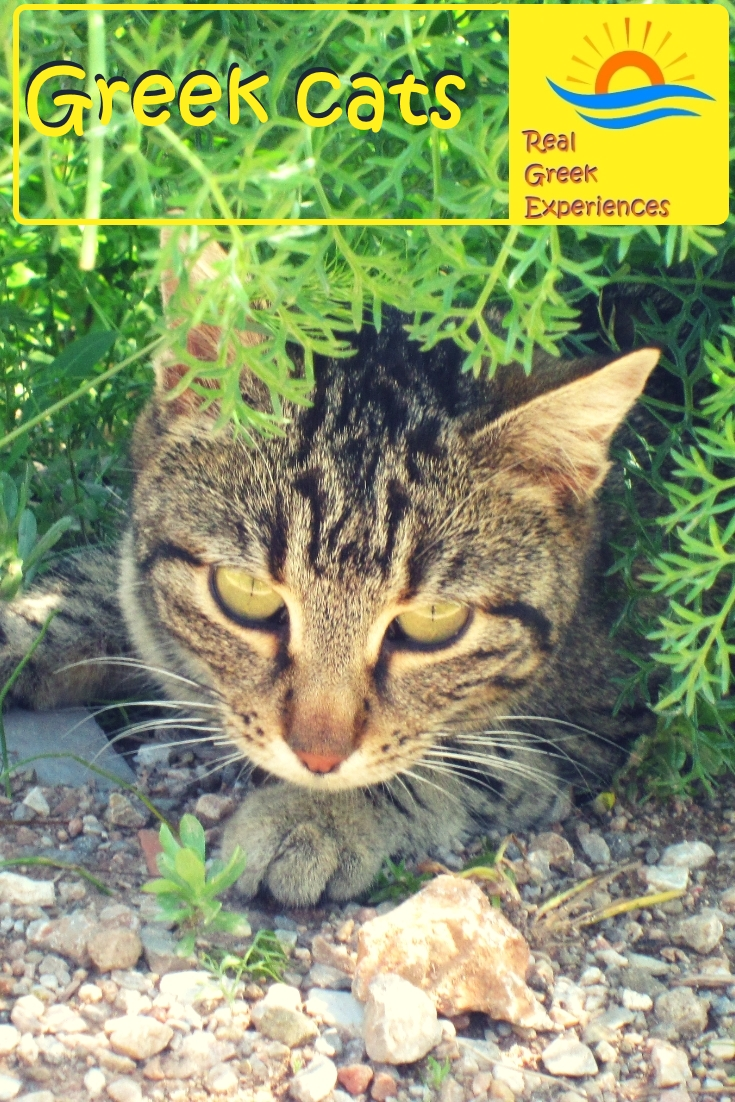 Greek cats: Everyone that visits Greece ends up with a cat photo sooner or later! Greek cats are everywhere. Find out why in this insight into cats in Greece, facts, photos and more!