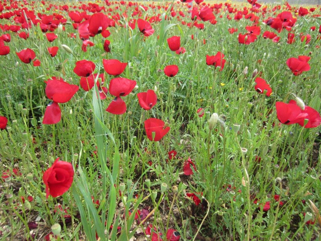 Cheapest time to go to Greece - Poppies in spring