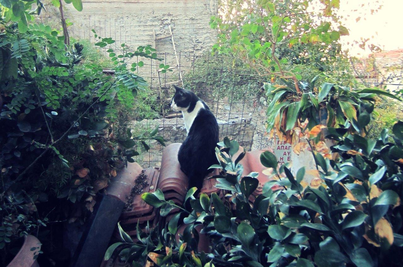 Black and white Greek cat