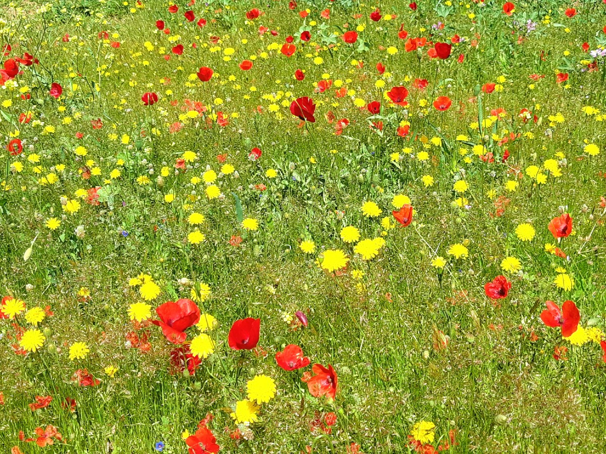 Poppies and daisies in Athens