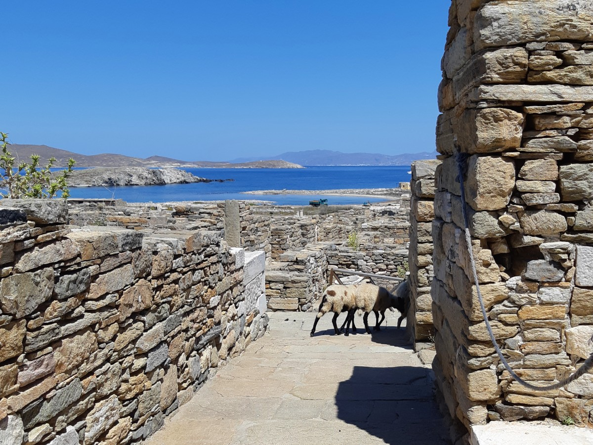 A goat walking around Ancient Delos