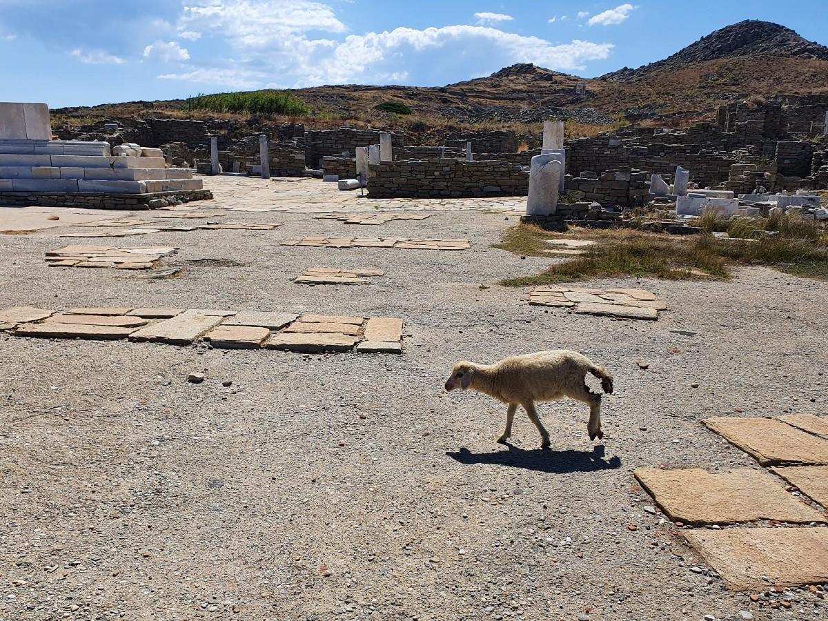 A sheep on Delos island Greece
