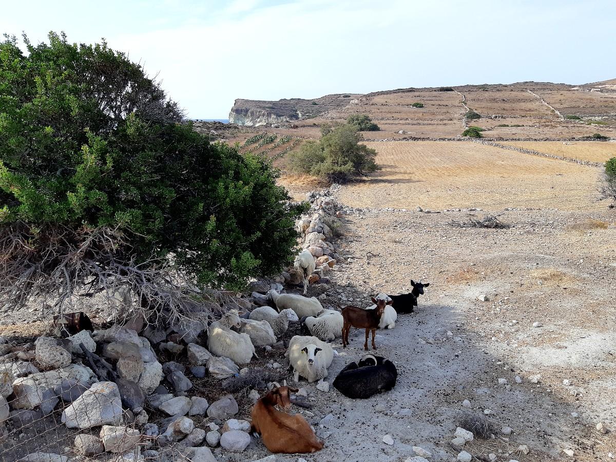Goats in Kimolos Greece
